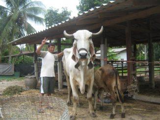 Cow-grazing